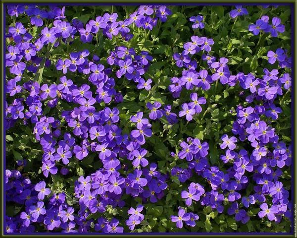Fiori lilla immagini e foto gratuite - Image fleur violette gratuite ...
